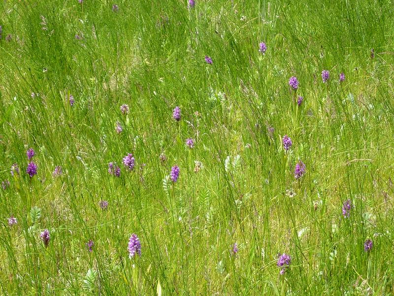 Southern Marsh Orchids at Loggan's Moor Nature Reserve (Hayle) | Carol's Cornwall - Nature Reserves